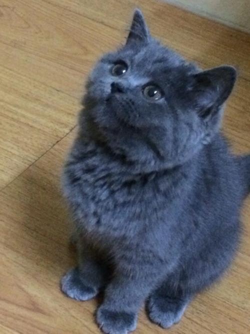 鼠大王莱恩蓝猫_蓝猫