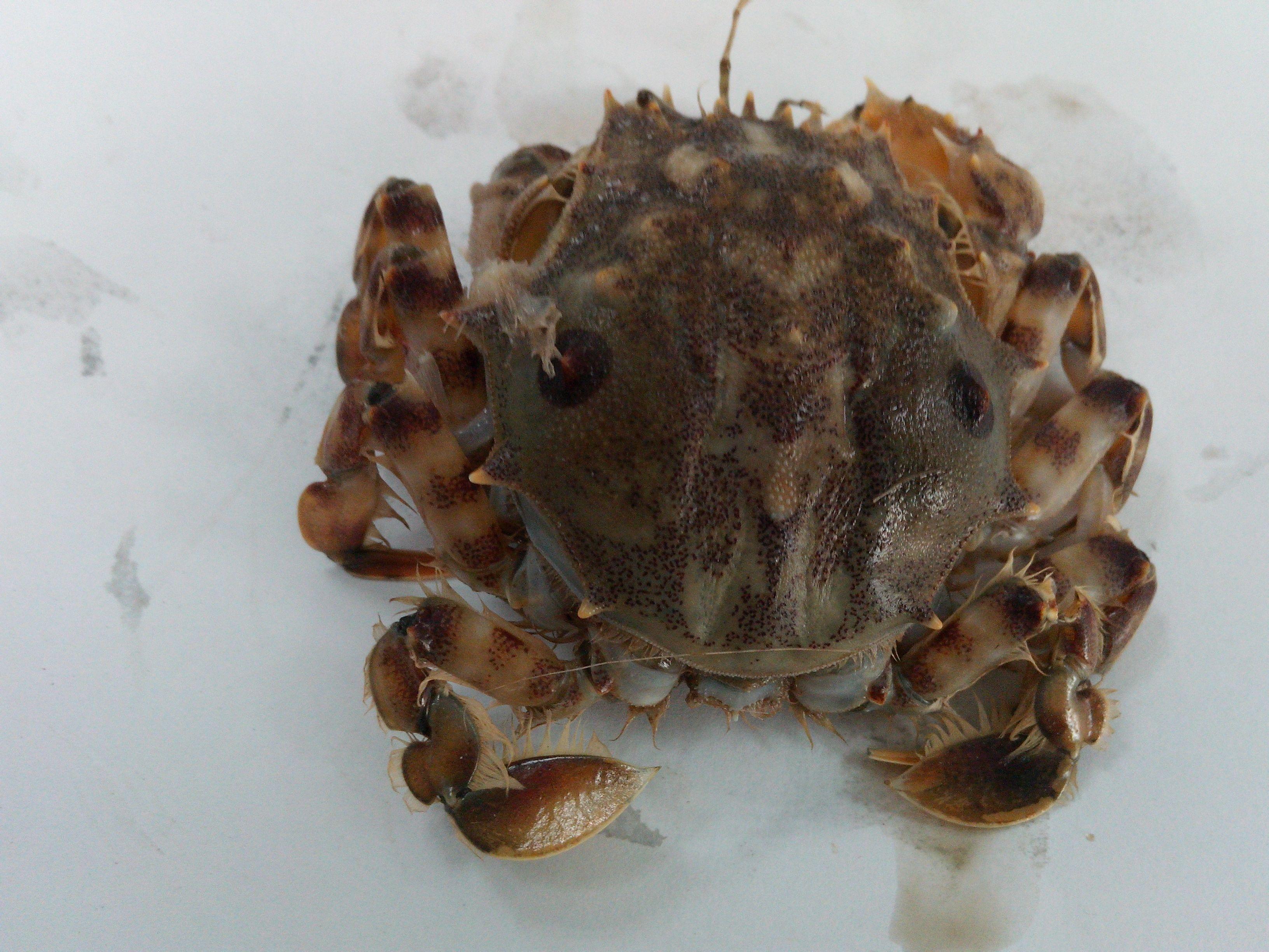 这个是什么螃蟹?学名?图片