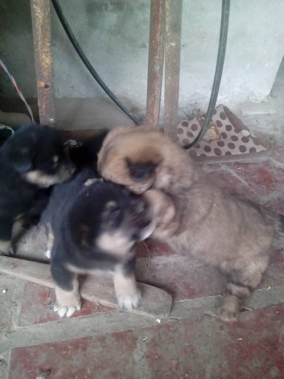 刚刚出生的中华田园犬