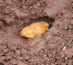 金龟子蛹类型