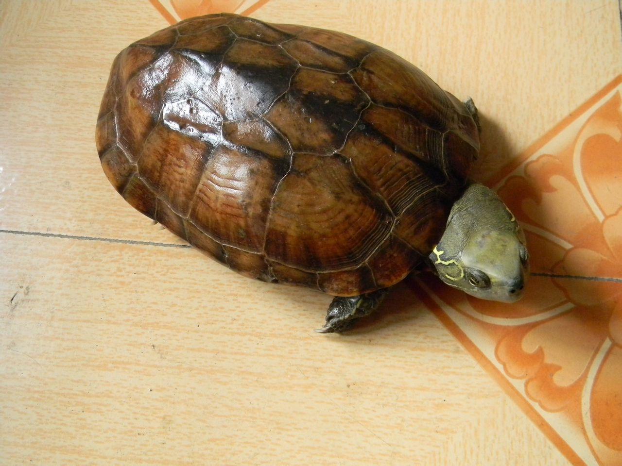 乌龟什么颜色好_我想知道这龟是什么品种,能值多少钱?大概能有六七斤重