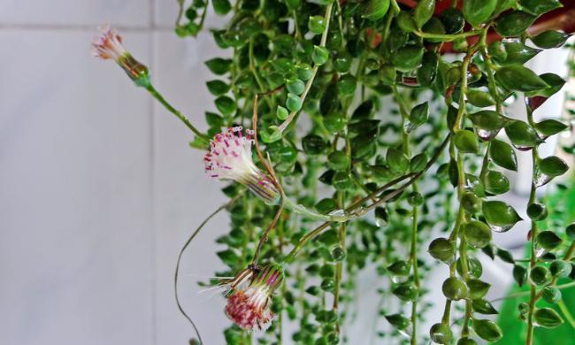 多肉植物佛珠开花