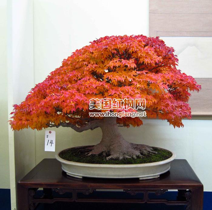 红枫盆景哪种好