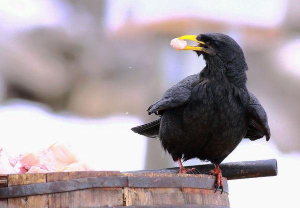 嘴巴黄色的羽毛黑色的是什么鸟_百度知道