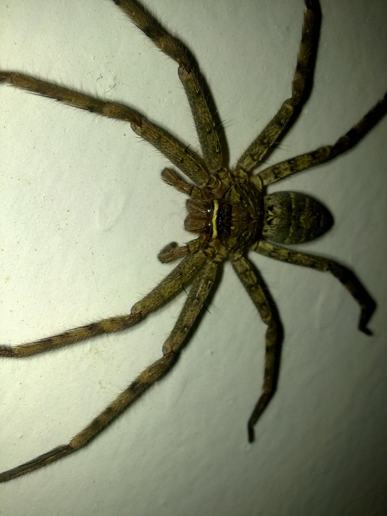 在车库里发现了一只大蜘蛛,有人知道是什么嘛 ...