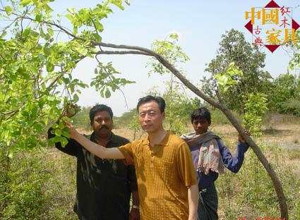 小叶紫檀树详细资料和清晰图片