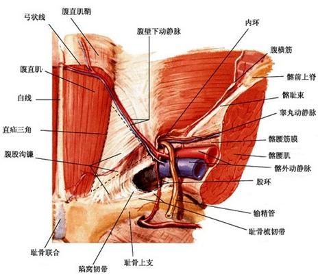 解剖小正太睾丸