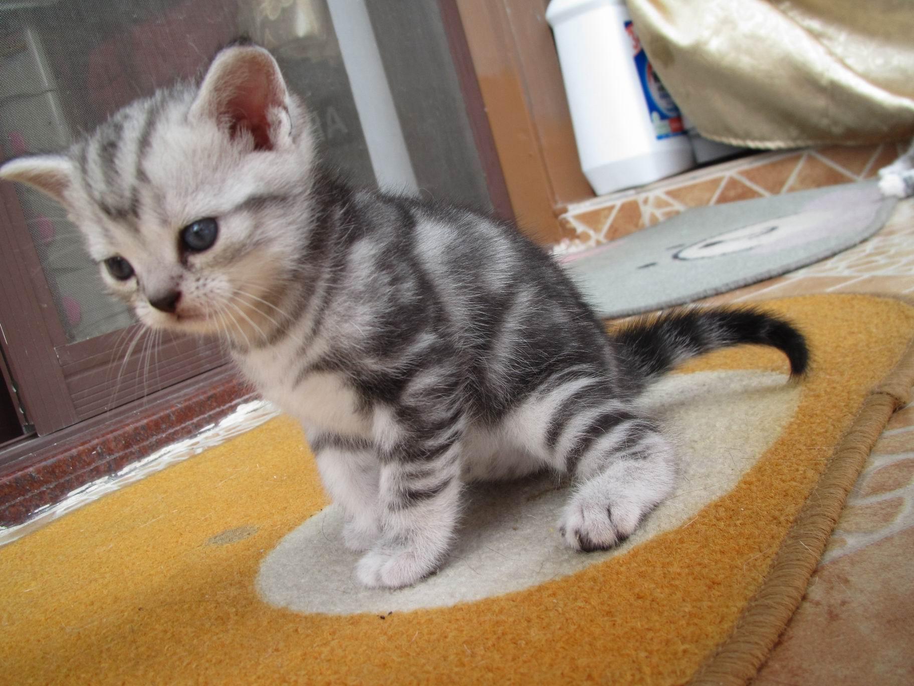 谁有美国短毛猫的照片发几张