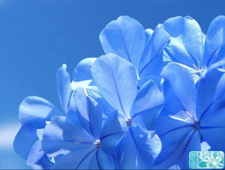 穗状花序顶生或腋生,花冠高脚碟状,浅蓝色或白色,花期6~9月,蒴果.