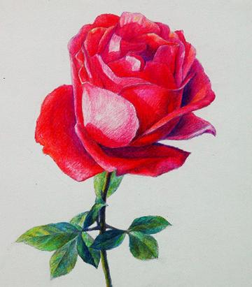 玫瑰花彩铅怎么画图片