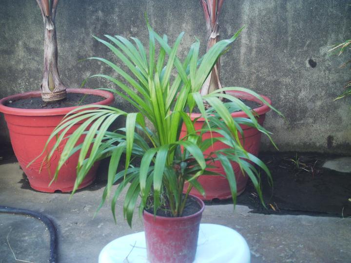 夏威夷椰子和袖珍椰子