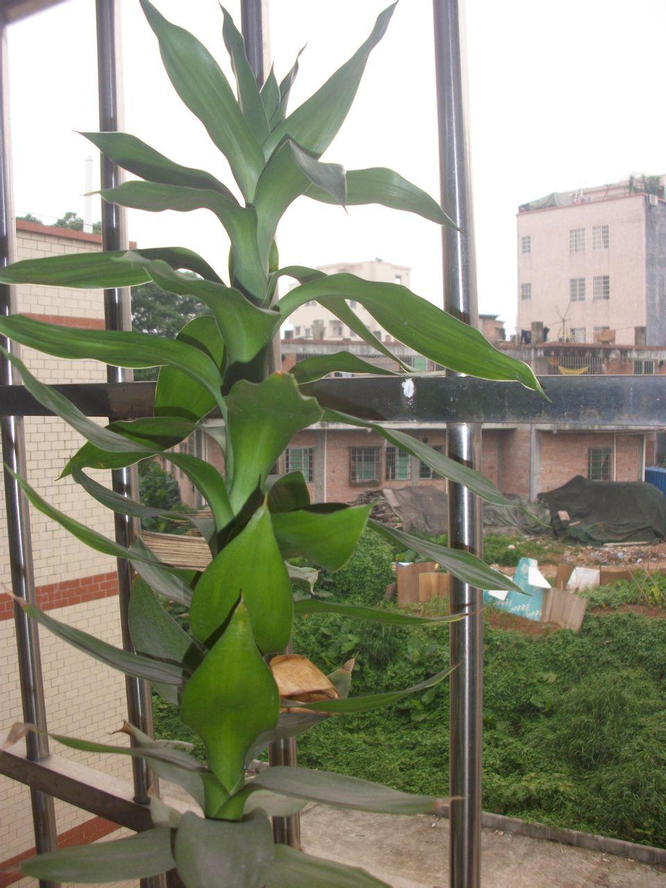 求这两棵室内绿色植物的名称图片