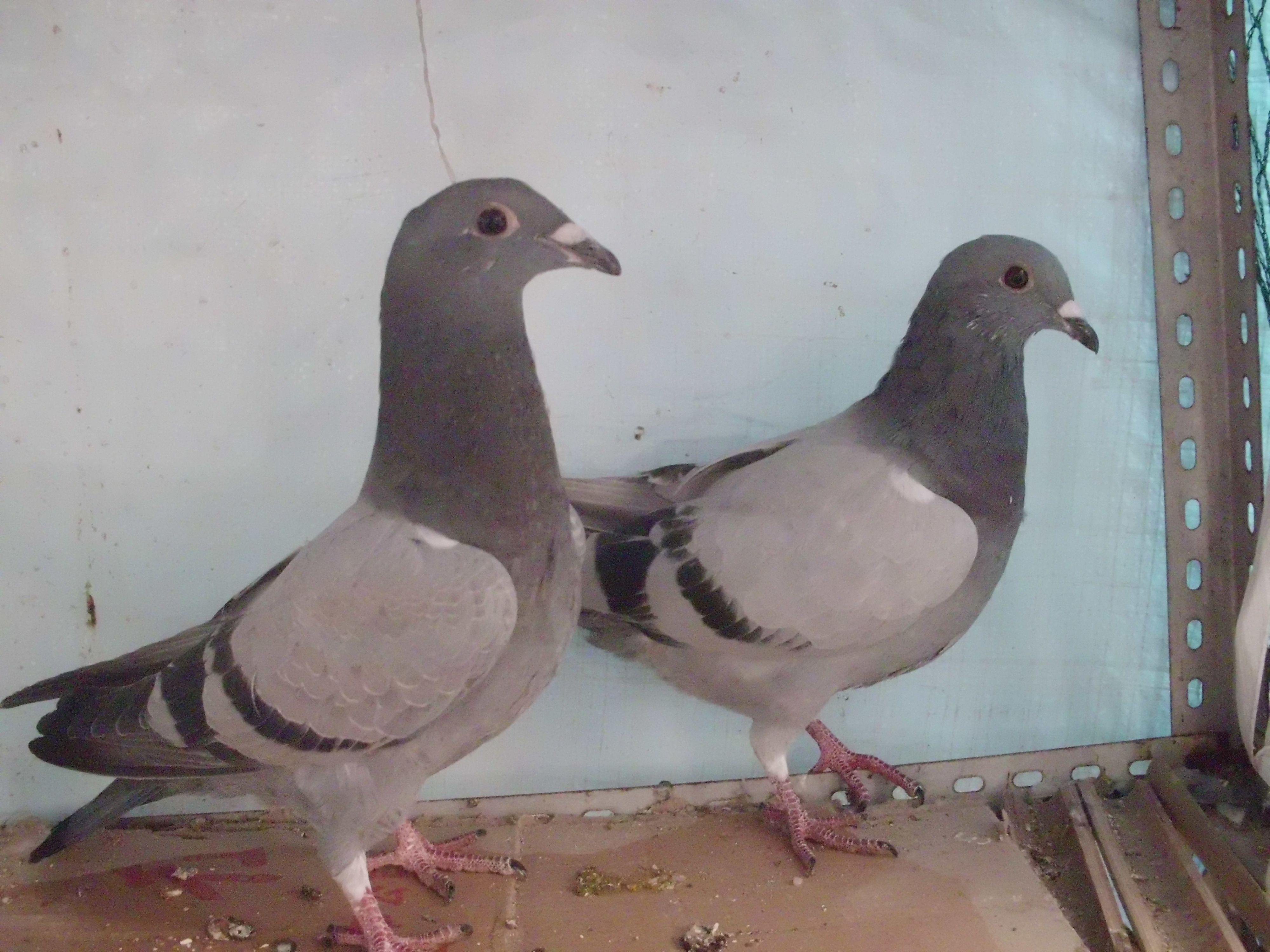 鸽孑怎么分公母图片