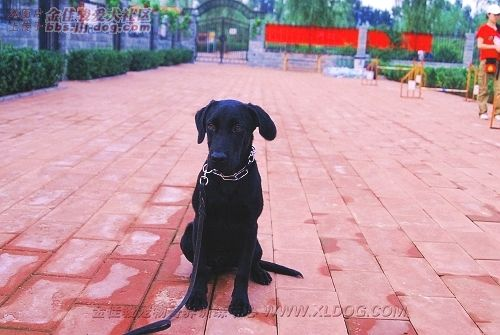 黑豹狗能跑多快
