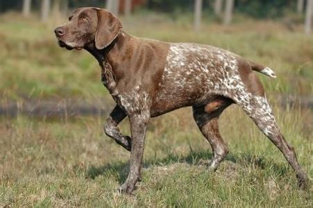 德国波音达犬