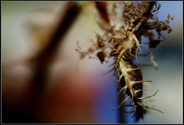 含羞草的种子是什么