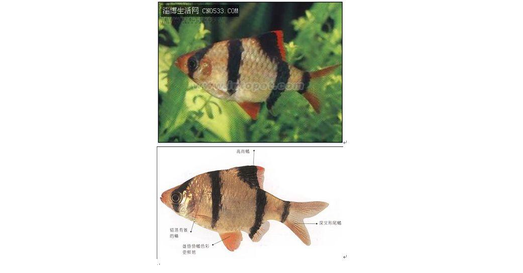 虎皮鱼怎么分公母图片