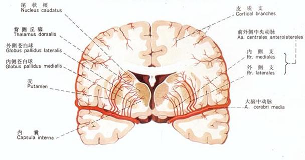 大脑中动脉营养脑回
