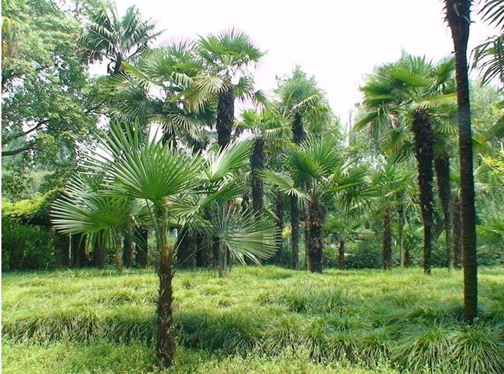 棕树与棕榈树的区别