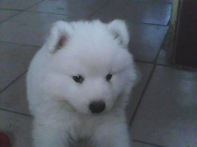 萨摩耶幼犬怎么挑