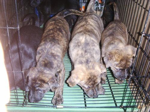 虎斑犬幼犬多少钱一只