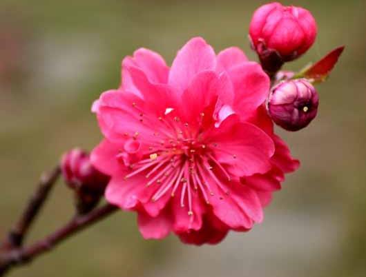 杏花有什么特点