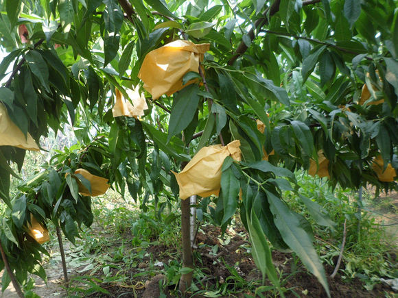 桃树的叶子是什么颜色