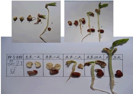 黄豆种子分为哪几部分图示