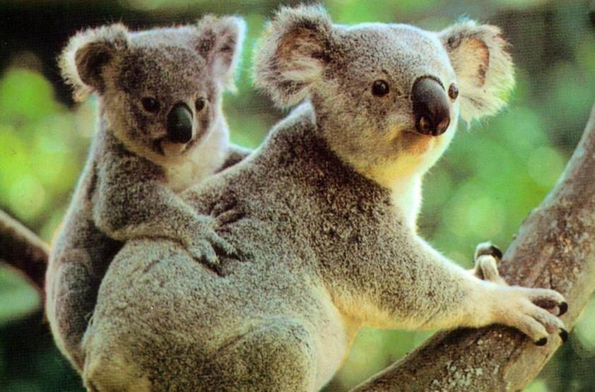 树袋熊是澳大利亚的特有种有袋类动物,分布澳大利亚在大分水岭的东北