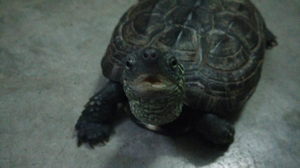 家里的龟冬眠醒来后一直不吃东西 这跟它的嘴那个缺角有关系吗 这个