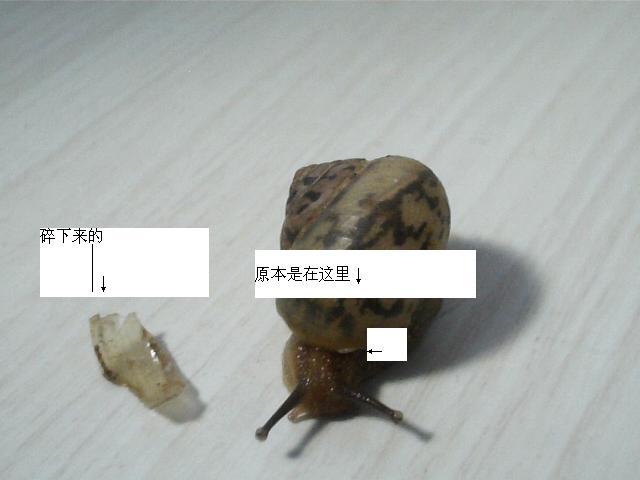 我家的蜗牛壳在蜗牛出入的那个口碎下来一截,请问 ...