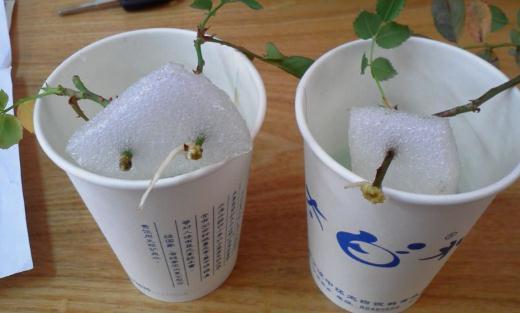 月季生根水的制作方法