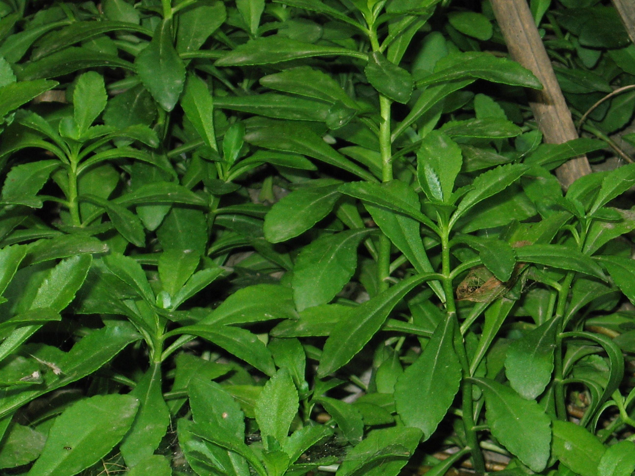 这种可以对蚊子叮咬解痒消肿的草(有人叫它三七)应该叫什么名字?