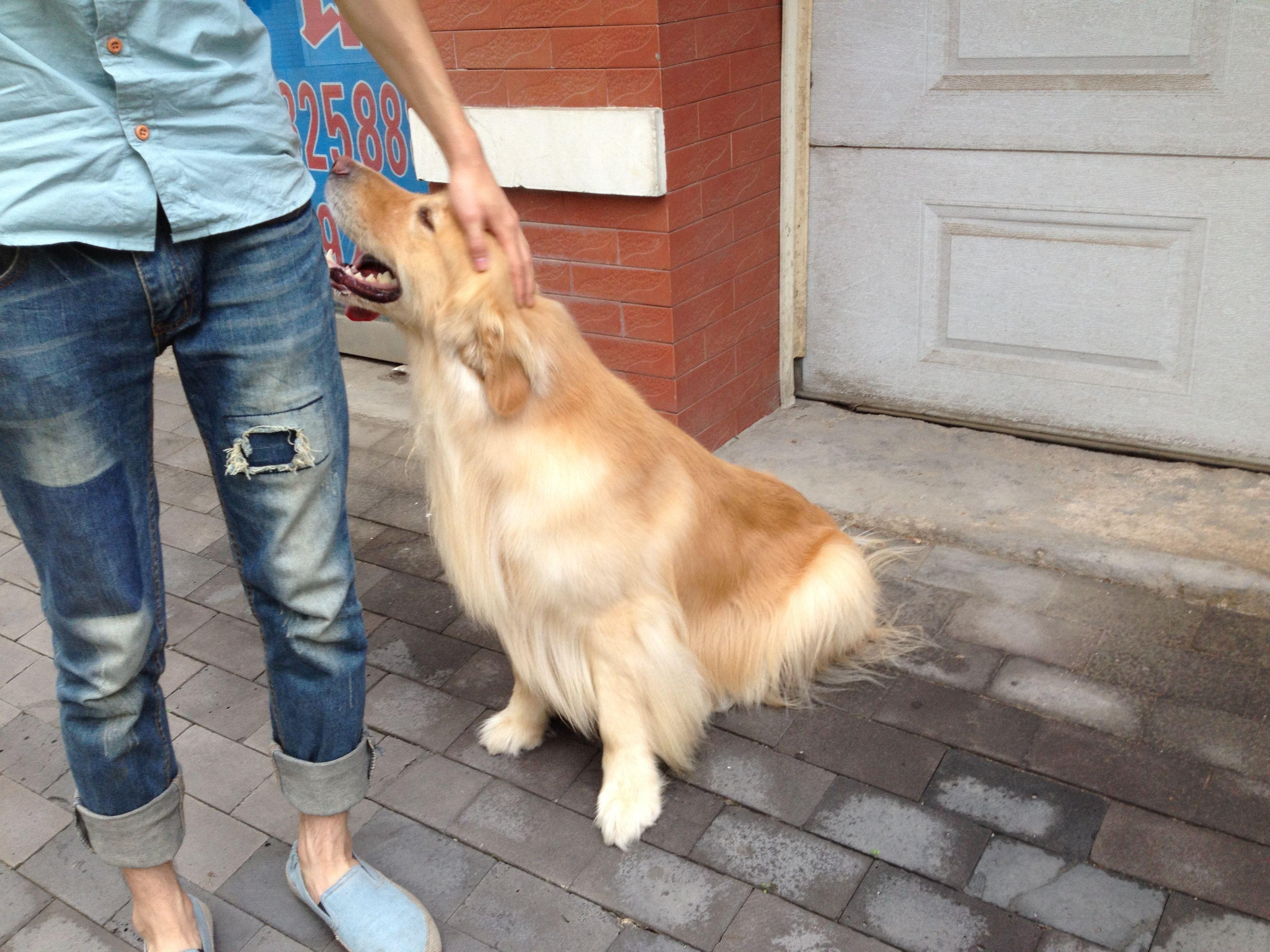 金毛巡回猎犬和拉布拉多犬哪个好?图片
