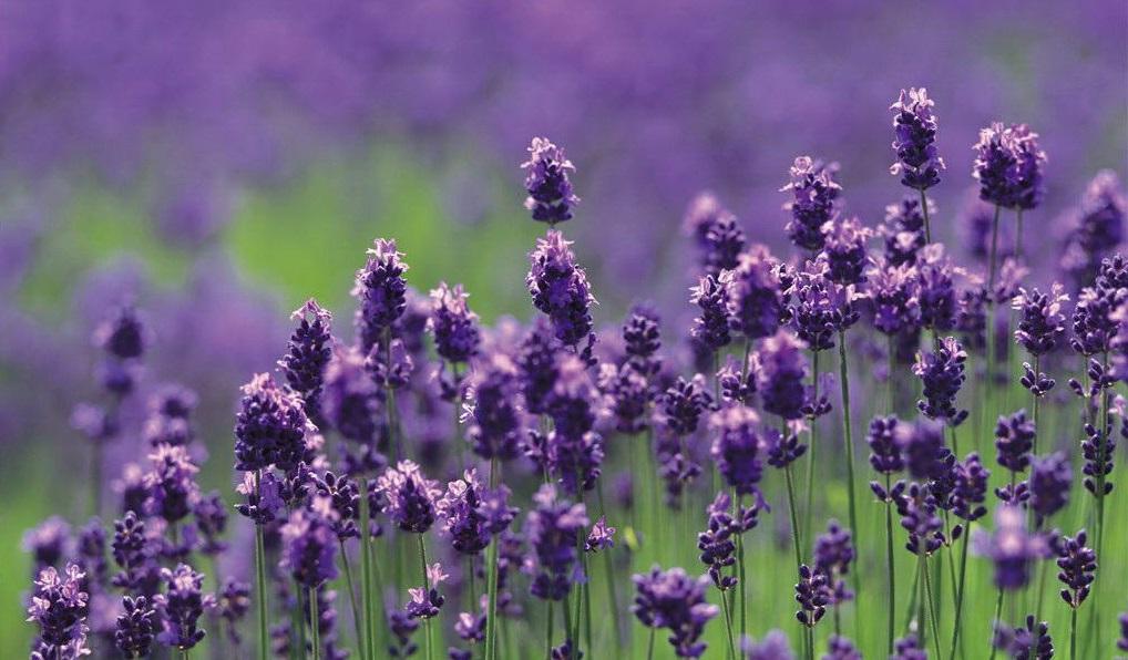 薰衣草搭配什么花