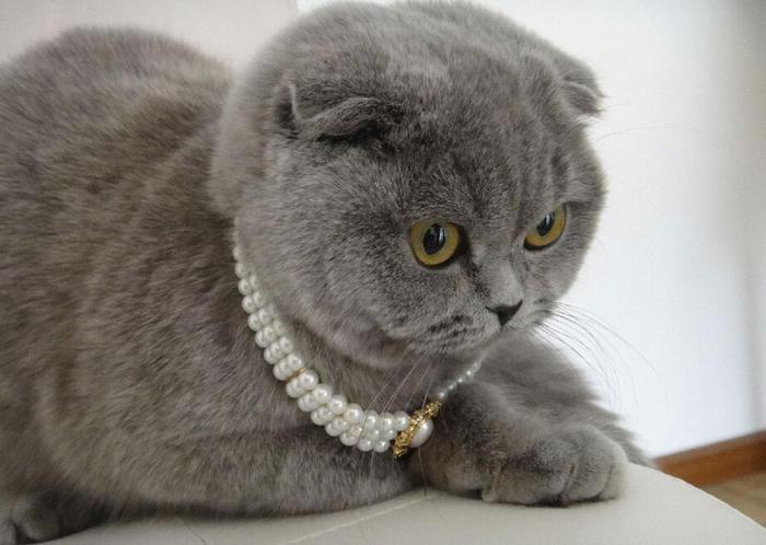 猫折耳猫怎么养