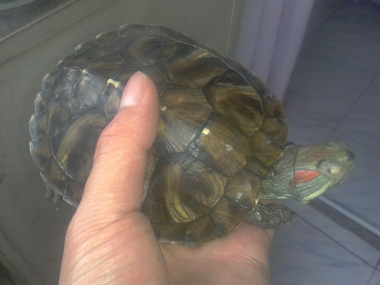巴西龟白眼病图片 巴西龟白眼病怎么治 巴西龟白眼病