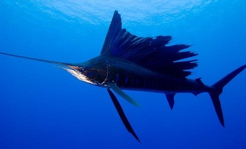 什么鱼只有一根刺