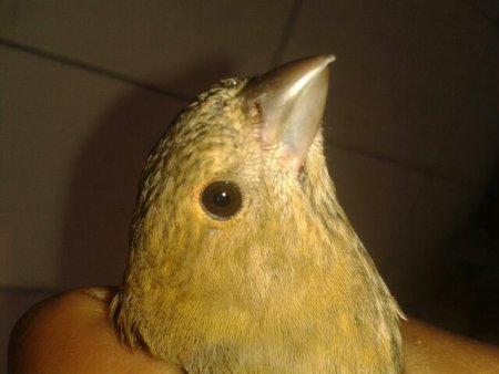 请问这个麻料鸟是公是母,谢谢
