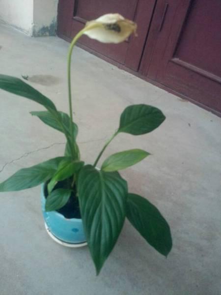17 2010-12-02 请救救我的白掌~~移盆后叶子蔫儿了,花也蔫儿了变黄了图片