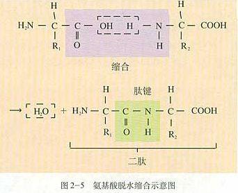 """两个氨基酸分子脱水缩合的时候为什么 c 和o要用""""=""""号连接?图片"""