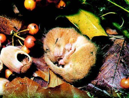 冬眠的冬眠动物