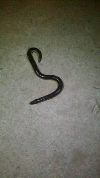 像蛇又像黄鳝_百度知道