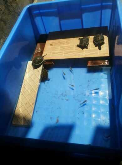 乌龟龟苗 放到二楼阳台设计的龟池养 好不好图片
