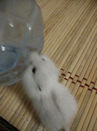 仓鼠一直在舔冰的矿泉水瓶的水珠,这样会不会生病啊?图片