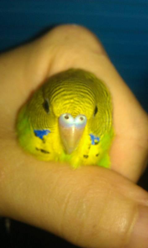 请教下虎皮鹦鹉怎分公或母网络从友们给点意见好吗 以下就是我养的图片