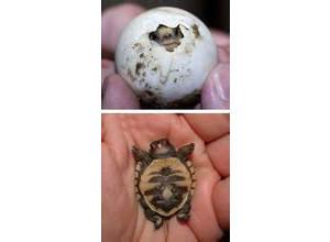 乌龟蛋是什么样子 发图片