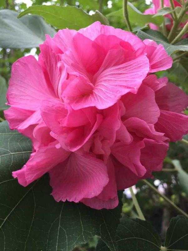 一种什么植物 花蕊黄色,开花时紫红色