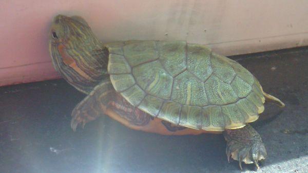 乌龟品种鉴定