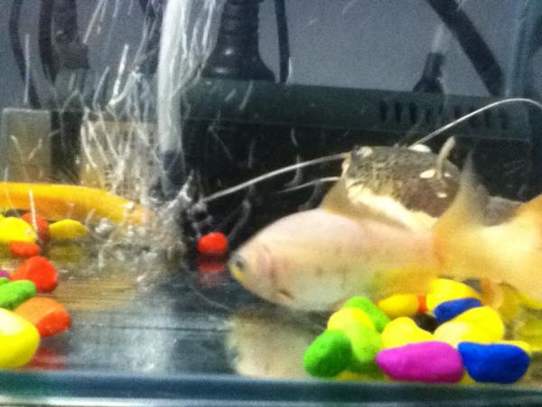 招财猫鱼 和金蟾的混养
